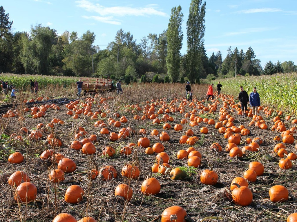 Surrey's Pumpkin Patches and Corn Mazes