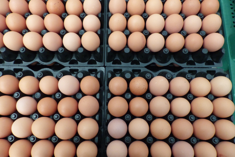 Flats of organic eggs at Rabbit River farms
