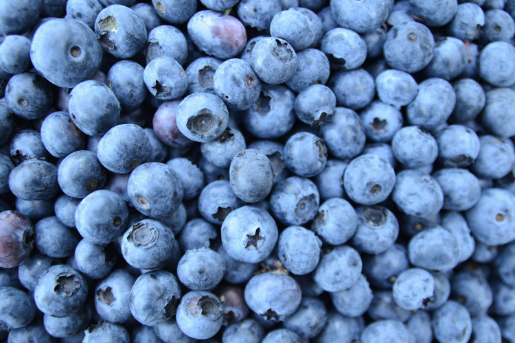 There are 100 named varieties of the Northern Highbush Blueberry.