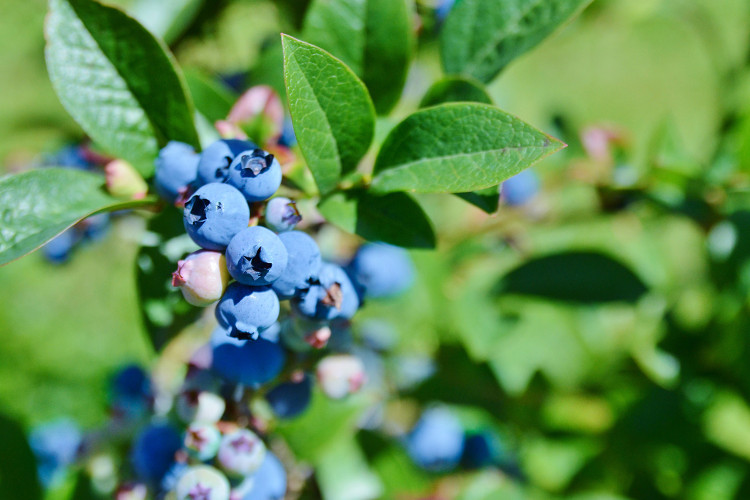 Did you know? Blueberries are at their peak stage of ripeness within two or three days after turning blue.