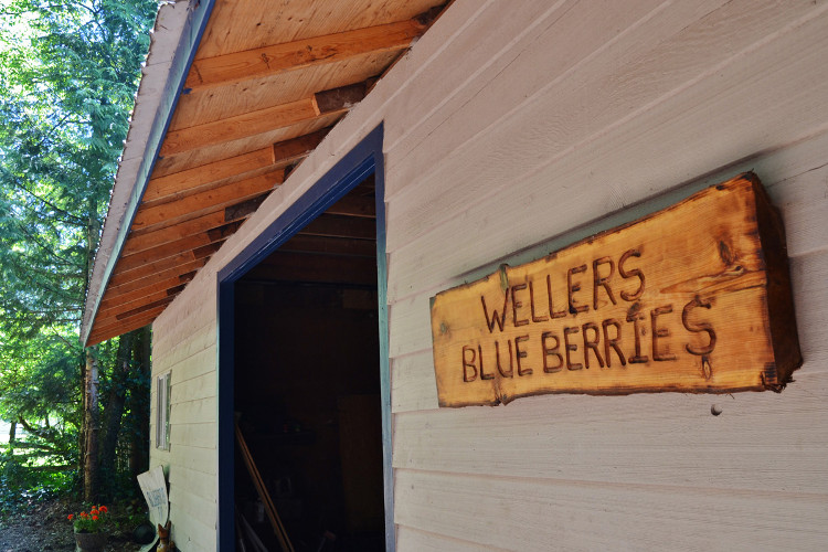 There are 10 varieties of highbush blueberries at Weller's Blueberry Farm.