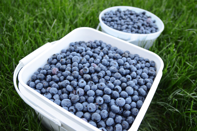 Tip: Store fresh picked berries in the refrigerator to extend their life and consume them within 10-14 days.