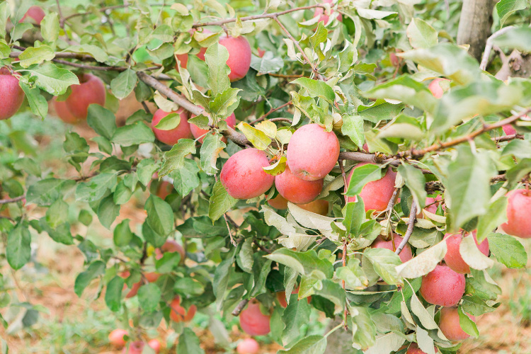 Apples are usually in season April-December. At some farms you can still pick your own apples in Autumn, such as Taves Family Farm - if they are still on the branches. Harvest times can vary from year-to-year.