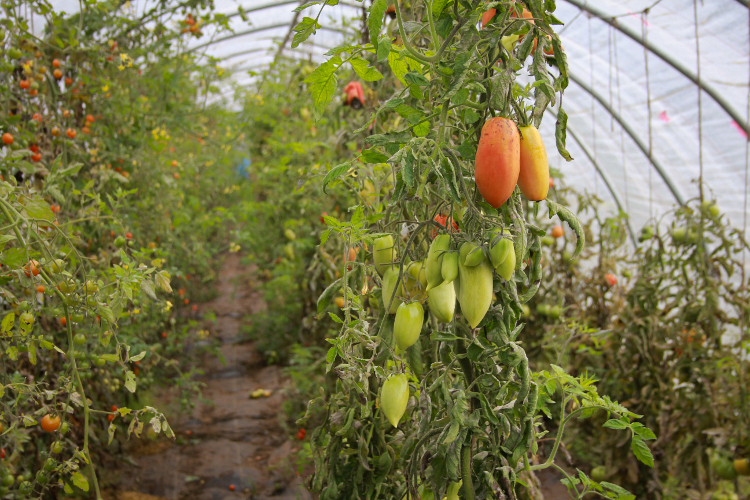 Tomatoes are on their way out in late October. Crops change with the seasons at A Rocha.