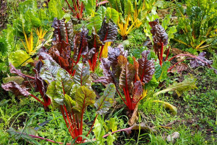 Fiery swiss chard stalks, mammoth cauliflower blooms, and the remnants of seasonal pepper crops run in rainbow rows at A Rocha.