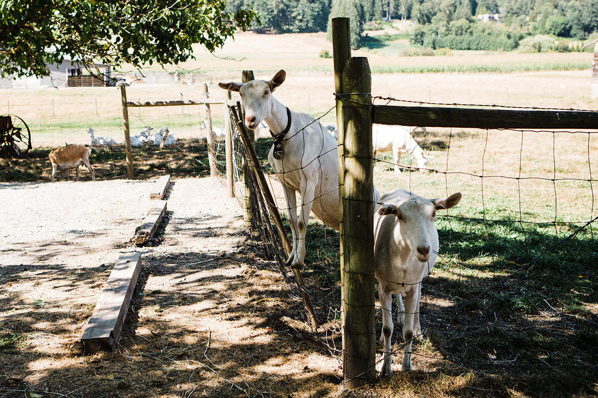 Meet The Animals Along The Circle Farm Tour In Langley Bc Westcoastfood
