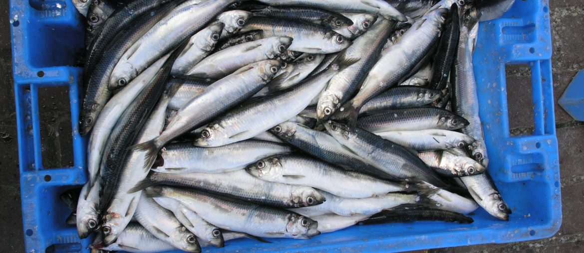 Steveston Herring Sale