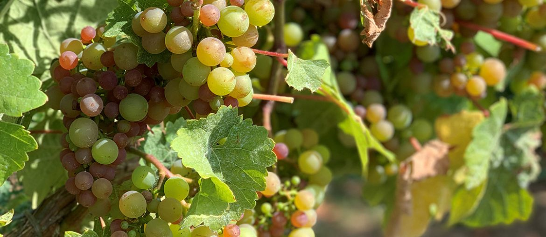 Seigerrebe Grapes - Chaberton Estate Winery