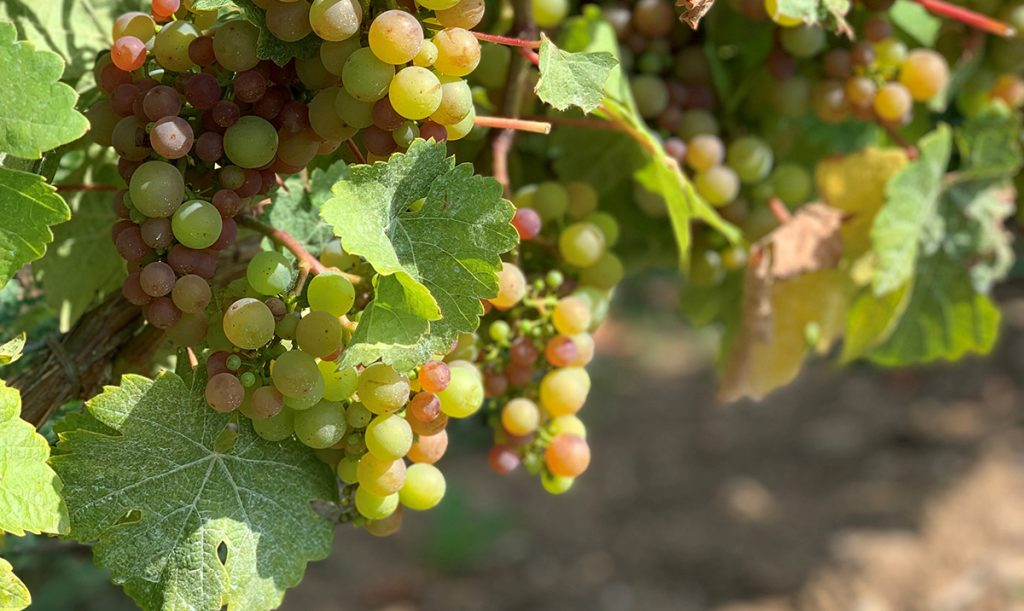 Seigerrebe Grapes | Image courtesy of Chaberton Estate Winery