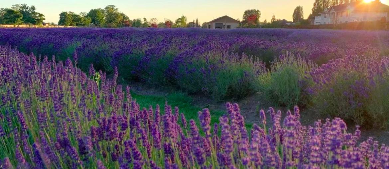 Lavenderland in Richmond