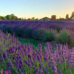 Indulge in Lavender Delights at Lavenderland